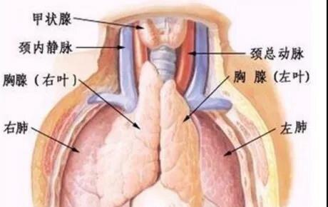 胸腺瘤的表现与治疗
